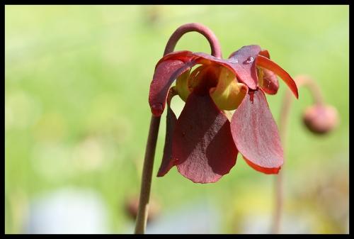 Blüten S rubra rubra crawford