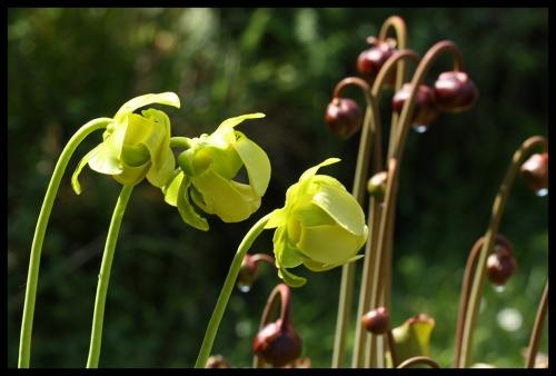 Blüten purpurea purpurea anthofree