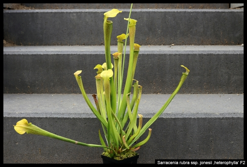S rubra jonesii heterophylla