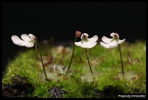 P immaculata Blüten