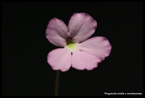 P nivalis moctezumae Blüte