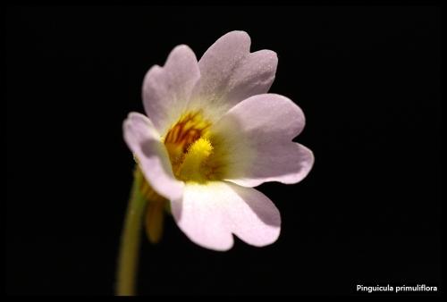 P primuliflora Blüte