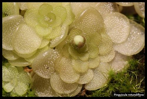 P rotundiflora Det
