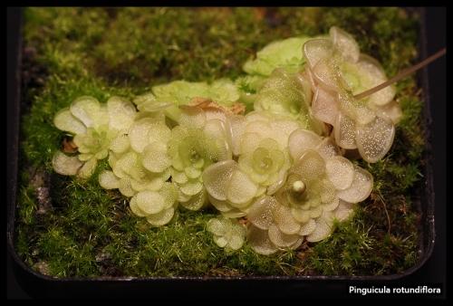 P rotundiflora Pfl