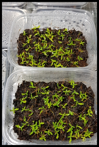N edwardsiana green seedlings