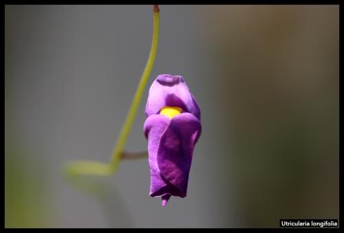 U longifolia I