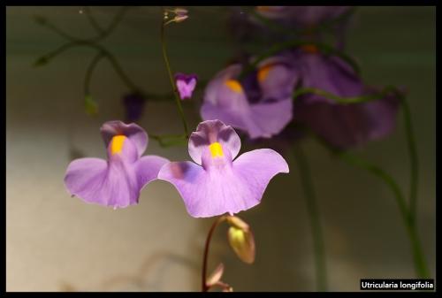 U longifolia II