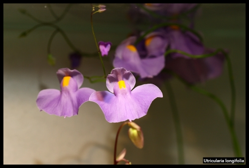 Utricularia August 2017