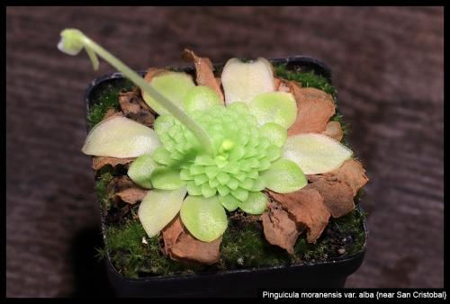 P moranensis alba SanCristobal