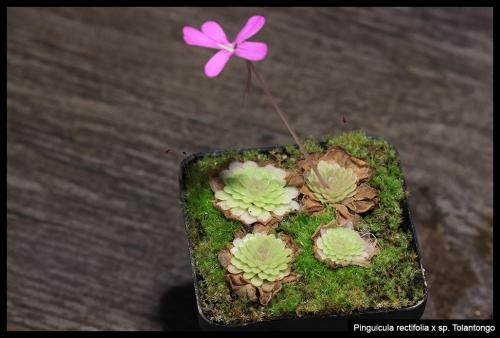 P rectifolia spTolantongo II