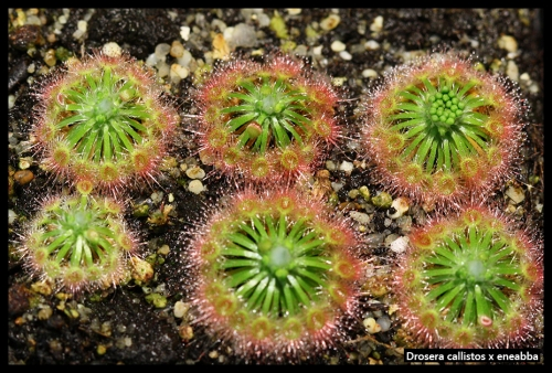 Zwergdrosera September 2015