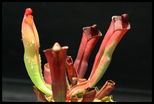 H purpurascens