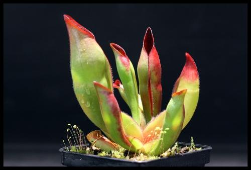 H sarracenioides