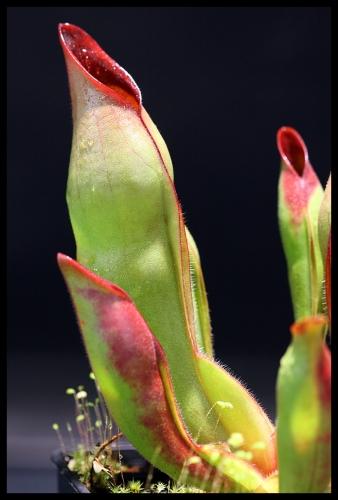H sarracenioides I