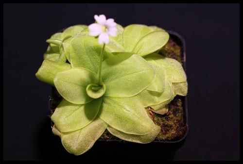 P chilensis chuiquisacensis