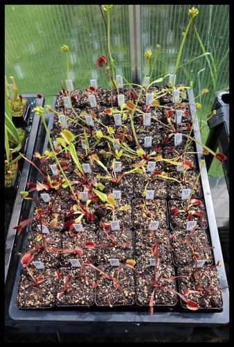 Dionaea Schale