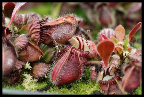 Cephalotus follicularis November 2014