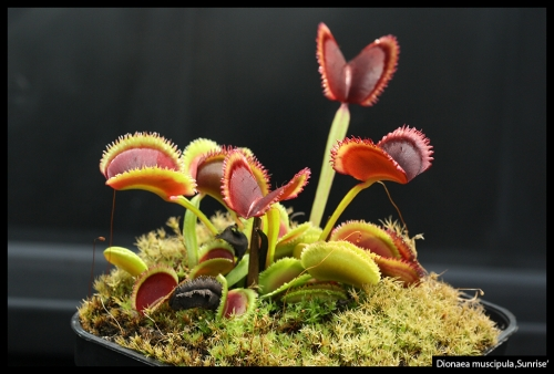 Dionaea muscipula September 2017