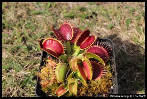 Viele Dionaea zum Herbstanfang Oktober 2018