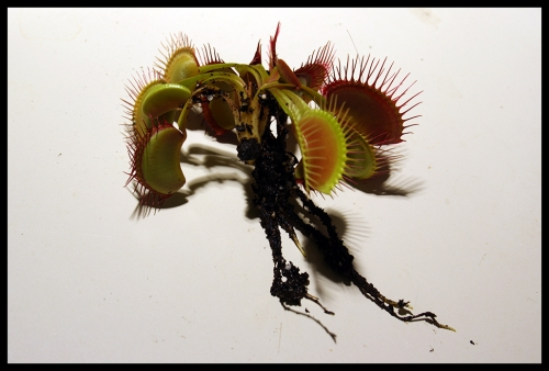11 Pflanze mit Wurzel
