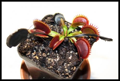 14 Pflanze mit toten Fallen