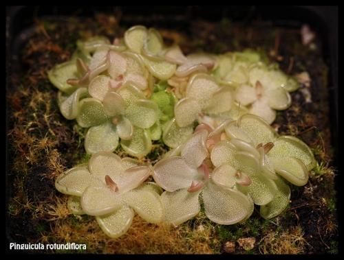 P rotundiflora