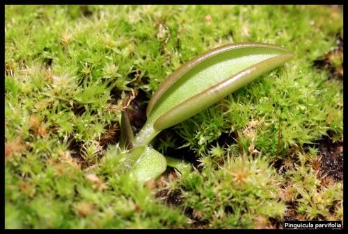P parvifolia