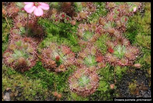 D pulchella pinkmaroon I