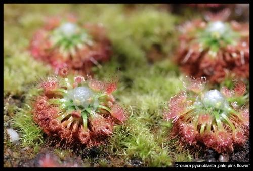 D pycnoblasta palepinkflower I