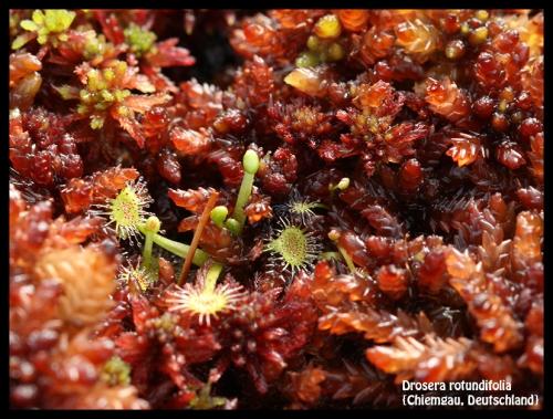 D rotundifolia Chiemgau