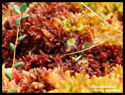 D rotundifolia Chiemgau 1