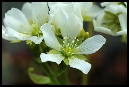 DM Blüte (1)