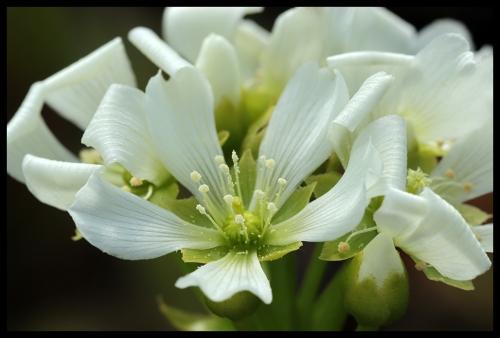 DM Blüte I (1)