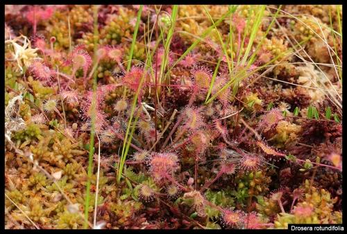 D rotundifolia I