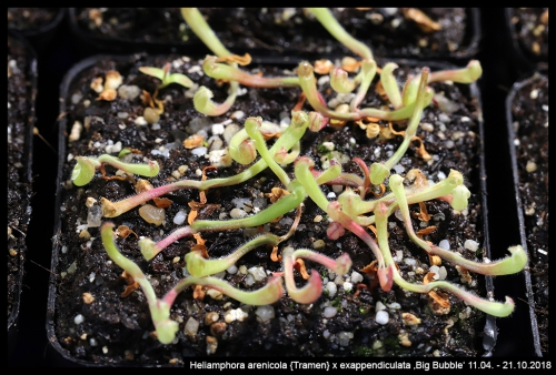 H arenicola Tramen exappendiculata BB II