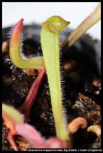 H exappendiculata BB huberi Angasima XI