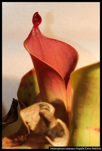H ceracea hispida