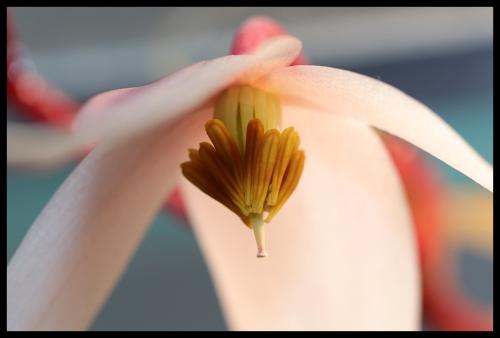 Heli-Blüte