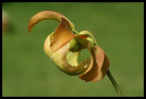 S Blüte