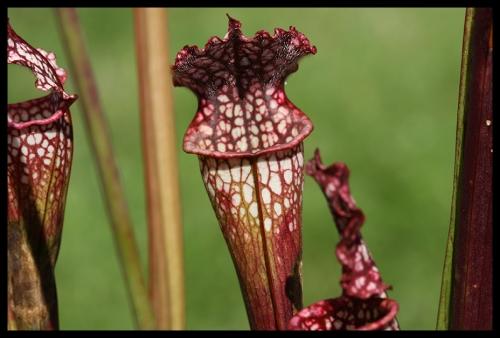 S leucophylla I