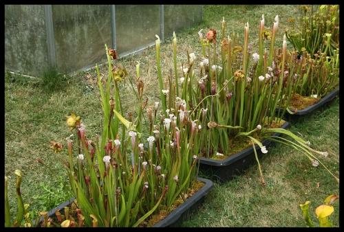 Kübel leucophylla