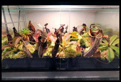 V Terrarium große Nepenthes