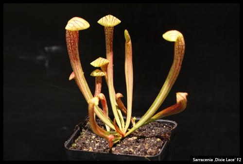 Sarracenia Nachwuchs Oktober 2016
