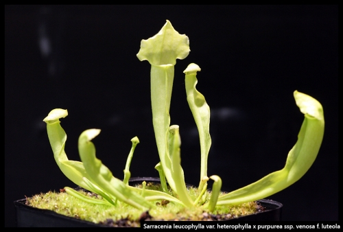 S leucophylla heterophylla purpurea venosa luteola
