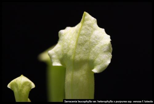S leucophylla heterophylla purpurea venosa luteola I