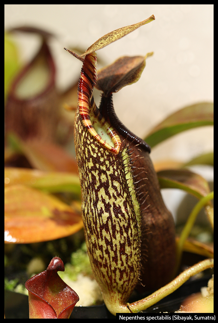 Nepenthes spectabilis {Sibayak,Sumatra}