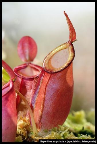 N ampullaria spectabilis talangensis (1)