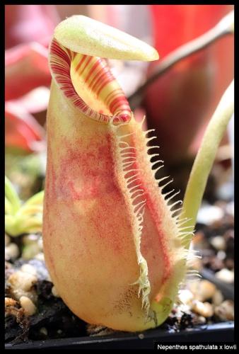 N spathulata lowii