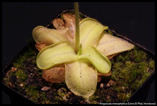P mesophytica Honduras
