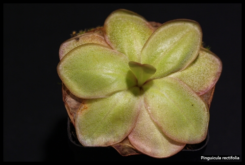 P rectifolia Pflanze